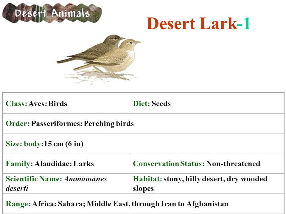 Desert Lark-1 Class: Aves: BirdsDiet: Seeds Order: Passeriformes: Perching birds Size: body:15 cm (6 in) Family: Alaudidae: LarksConservation Status: