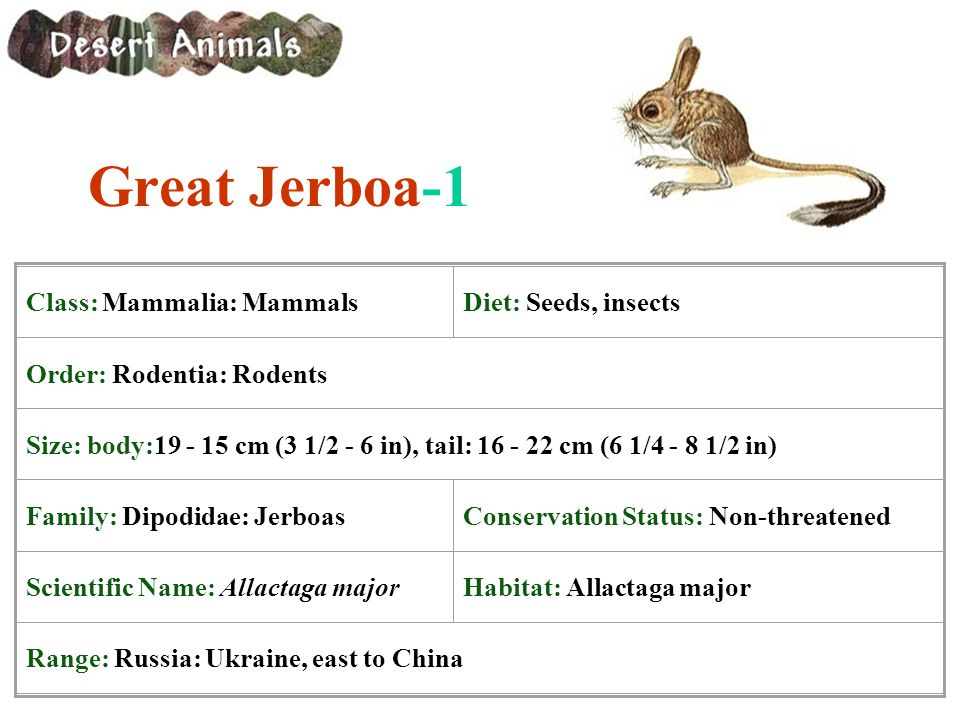Great Jerboa-1 Class: Mammalia: MammalsDiet: Seeds, insects Order: Rodentia: Rodents Size: body:19 - 15 cm (3 1/2 - 6 in), tail: 16 - 22 cm (6 1/4 - 8