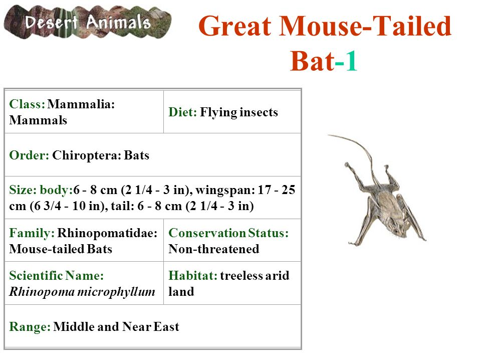Great Mouse-Tailed Bat-1 Class: Mammalia: Mammals Diet: Flying insects Order: Chiroptera: Bats Size: body:6 - 8 cm (2 1/4 - 3 in), wingspan: 17 - 25 c