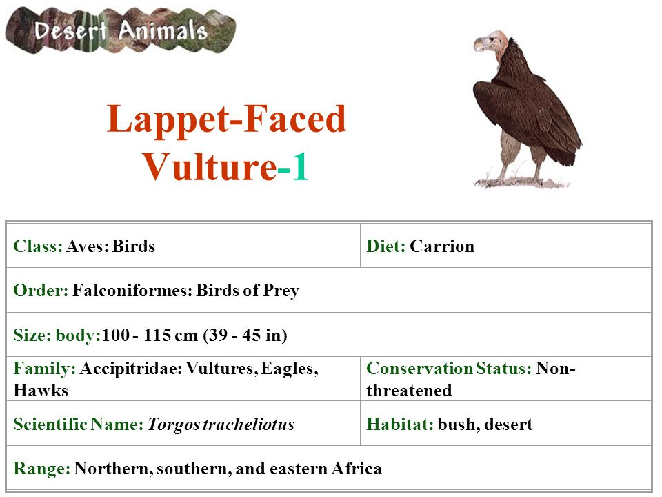 Lappet-Faced Vulture-1 Class: Aves: BirdsDiet: Carrion Order: Falconiformes: Birds of Prey Size: body:100 - 115 cm (39 - 45 in) Family: Accipitridae: