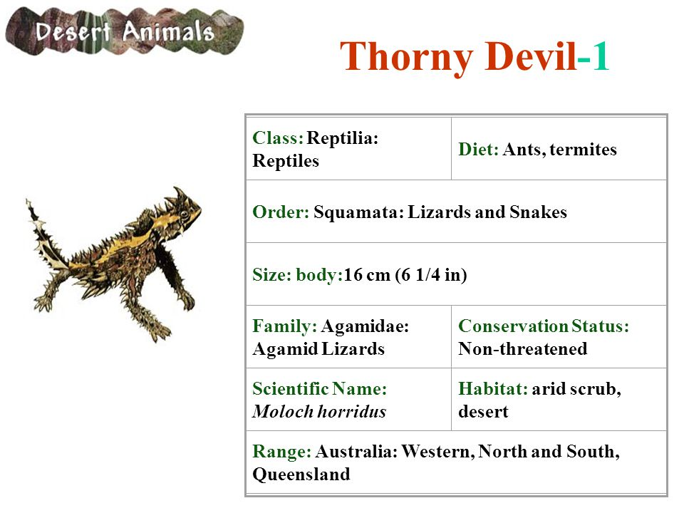 Thorny Devil-1 Class: Reptilia: Reptiles Diet: Ants, termites Order: Squamata: Lizards and Snakes Size: body:16 cm (6 1/4 in) Family: Agamidae: Agamid