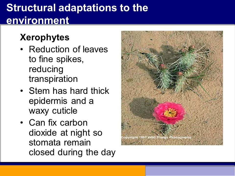 Structural adaptations to the environment Xerophytes Reduction of leaves to fine spikes, reducing transpiration Stem has hard thick epidermis and a wa