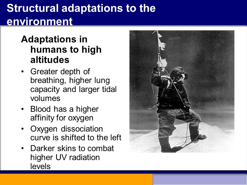 Structural adaptations to the environment Adaptations in humans to high altitudes Greater depth of breathing, higher lung capacity and larger tidal vo
