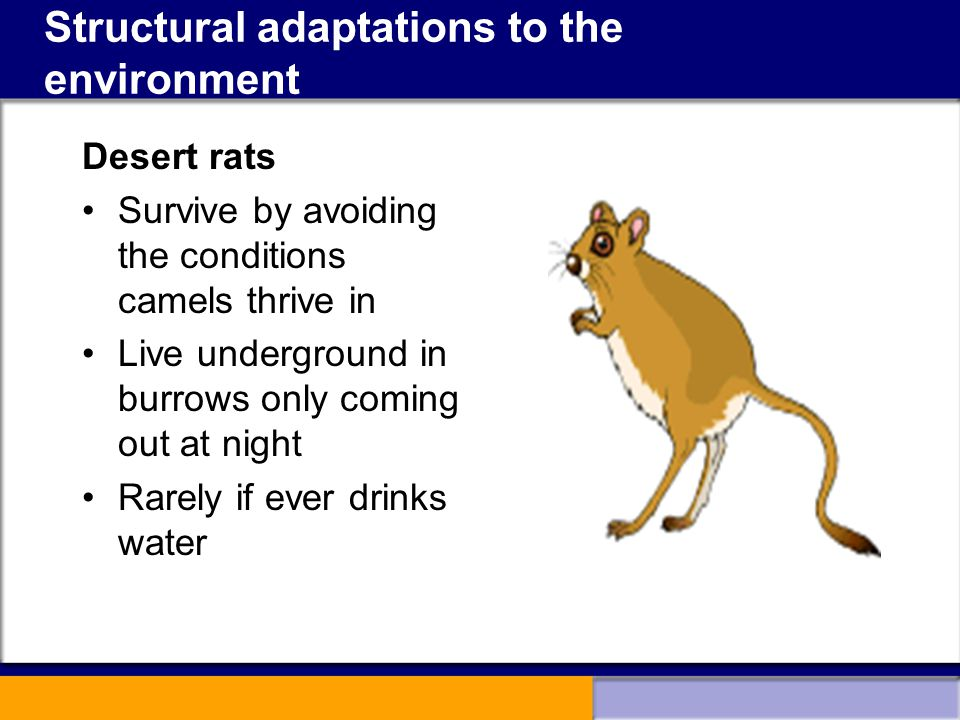 Structural adaptations to the environment Desert rats Survive by avoiding the conditions camels thrive in Live underground in burrows only coming out