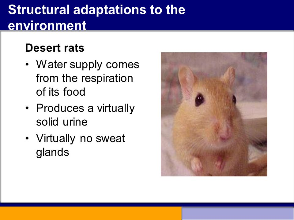 Structural adaptations to the environment Desert rats Water supply comes from the respiration of its food Produces a virtually solid urine Virtually n
