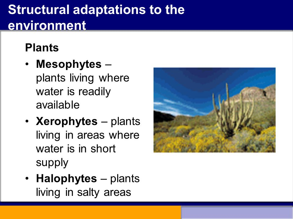 Structural adaptations to the environment Plants Mesophytes – plants living where water is readily available Xerophytes – plants living in areas where