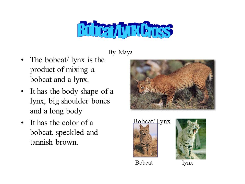 The bobcat/ lynx is the product of mixing a bobcat and a lynx. It has the body shape of a lynx, big shoulder bones and a long body It has the color of