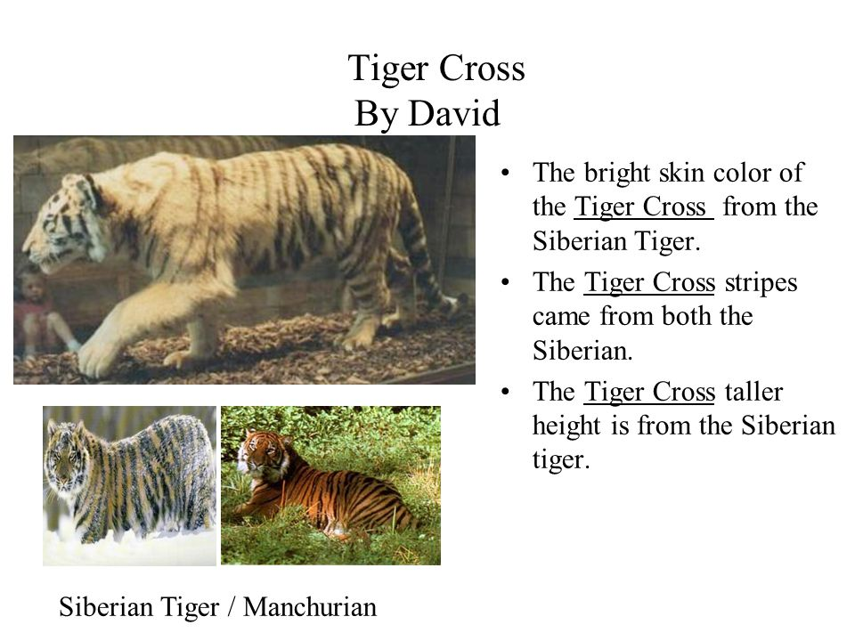 Tiger Cross By David The bright skin color of the Tiger Cross from the Siberian Tiger. The Tiger Cross stripes came from both the Siberian. The Tiger