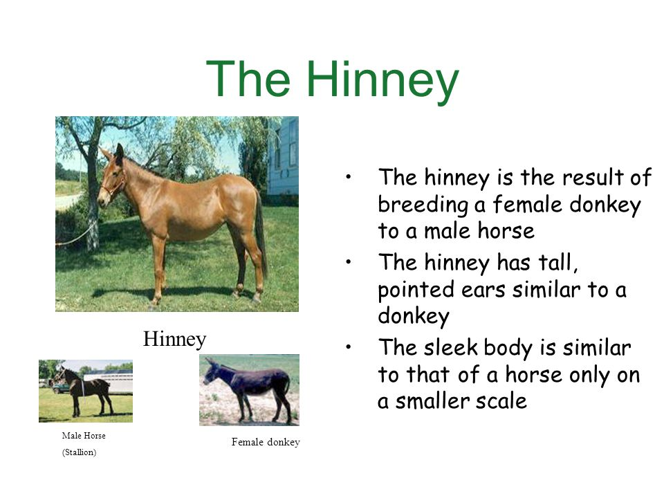 The Hinney The hinney is the result of breeding a female donkey to a male horse The hinney has tall, pointed ears similar to a donkey The sleek body is similar to that of a horse only on a smaller scale Hinney Male Horse (Stallion) Female donkey