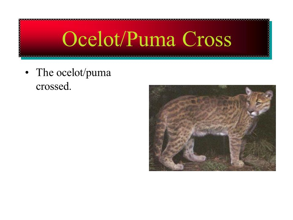 Ocelot/Puma Cross The ocelot/puma crossed.
