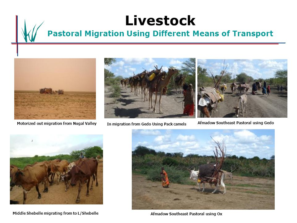 Livestock Pastoral Migration Using Different Means of Transport Motorized out migration from Nugal Valley In migration from Gedo Using Pack camels Afmadow Southeast Pastoral using Gedo Middle Shebelle migrating from to L/Shebelle Afmadow Southeast Pastoral using Ox