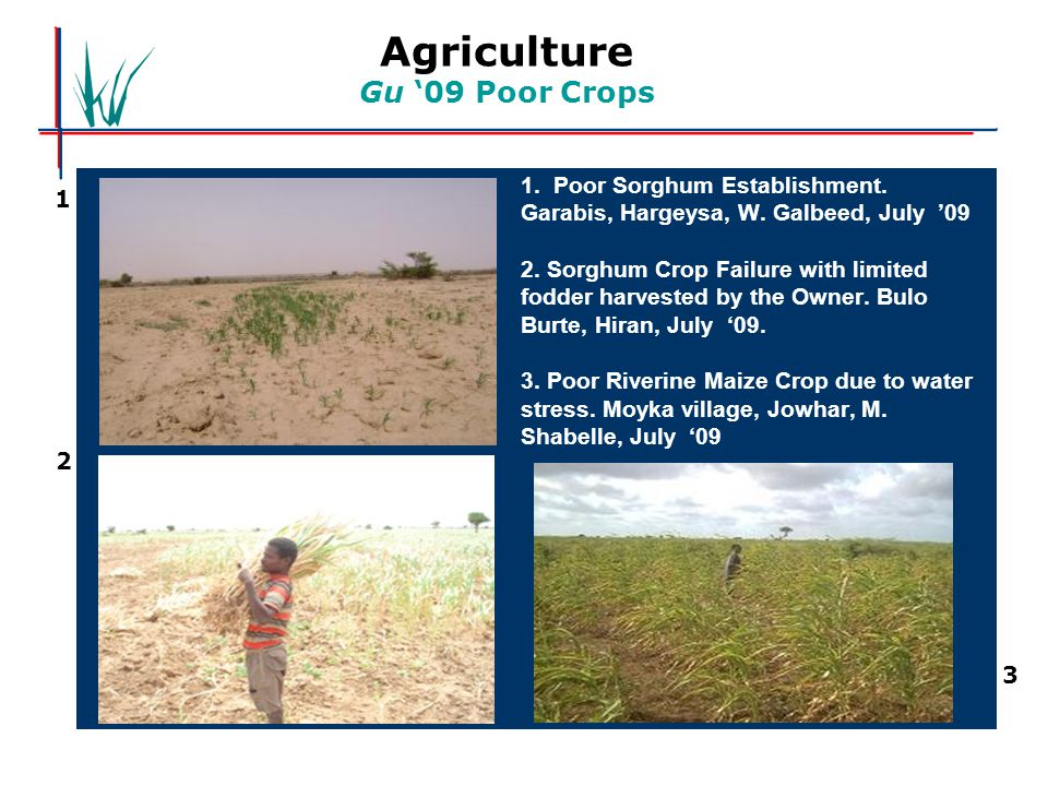 Agriculture Gu '09 Poor Crops 1. Poor Sorghum Establishment. Garabis, Hargeysa, W. Galbeed, July '09 2. Sorghum Crop Failure with limited fodder harve