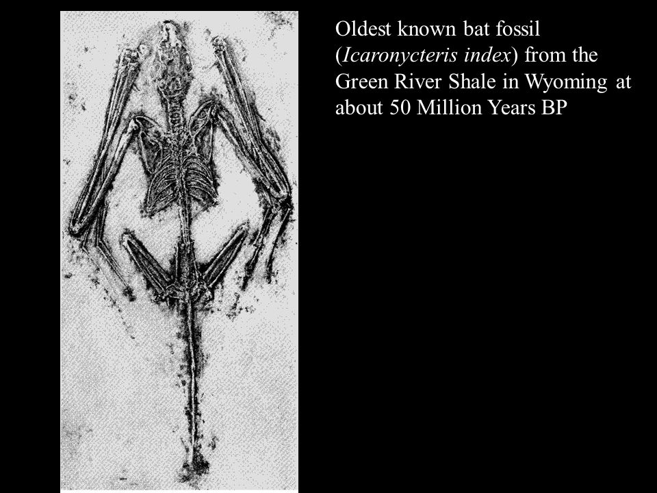 Oldest known bat fossil (Icaronycteris index) from the Green River Shale in Wyoming at about 50 Million Years BP