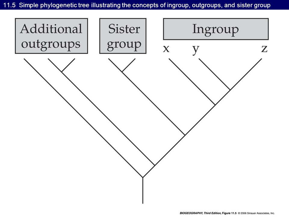 11.5 Simple phylogenetic tree illustrating the concepts of ingroup, outgroups, and sister group