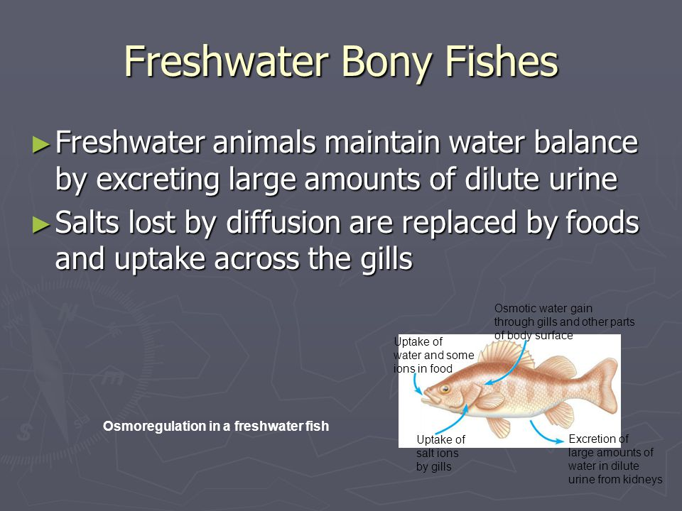 Freshwater Bony Fishes ► Freshwater animals maintain water balance by excreting large amounts of dilute urine ► Salts lost by diffusion are replaced by foods and uptake across the gills Uptake of water and some ions in food Osmotic water gain through gills and other parts of body surface Uptake of salt ions by gills Excretion of large amounts of water in dilute urine from kidneys Osmoregulation in a freshwater fish