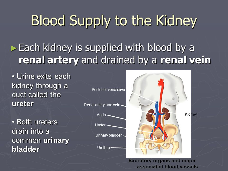 Blood Supply to the Kidney ► Each kidney is supplied with blood by a renal artery and drained by a renal vein Posterior vena cava Renal artery and vein Aorta Ureter Urinary bladder Urethra Excretory organs and major associated blood vessels Kidney Urine exits each kidney through a duct called the ureter Urine exits each kidney through a duct called the ureter Both ureters drain into a common urinary bladder Both ureters drain into a common urinary bladder