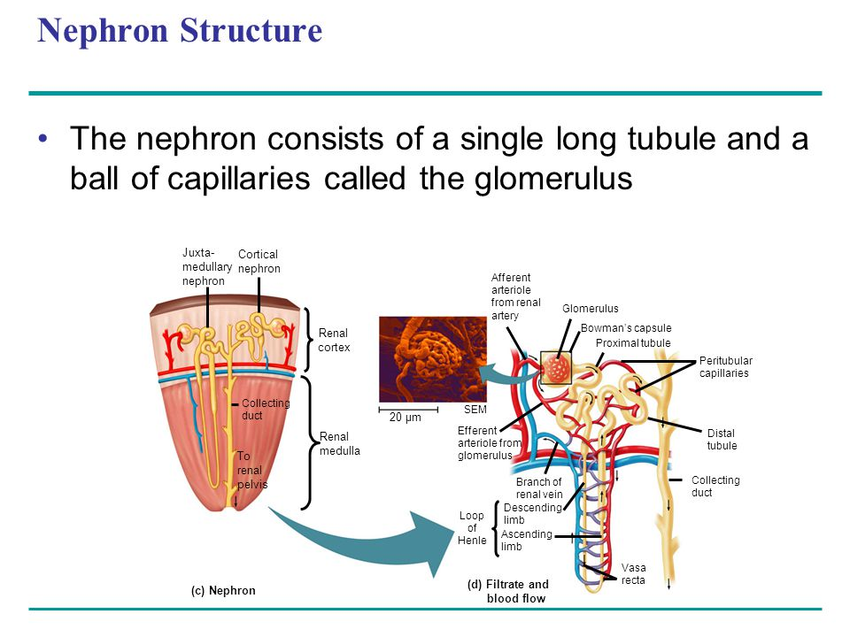 Nephron Structure The nephron consists of a single long tubule and a ball of capillaries called the glomerulus Juxta- medullary nephron Cortical nephron Collecting duct To renal pelvis Renal cortex Renal medulla 20 µm Afferent arteriole from renal artery Glomerulus Bowman's capsule Proximal tubule Peritubular capillaries SEM Efferent arteriole from glomerulus Branch of renal vein Descending limb Ascending limb Loop of Henle Distal tubule Collecting duct (c) Nephron Vasa recta (d) Filtrate and blood flow