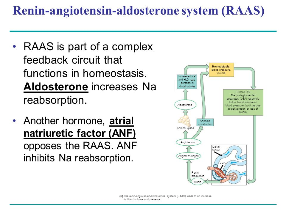 Renin-angiotensin-aldosterone system (RAAS) RAAS is part of a complex feedback circuit that functions in homeostasis.
