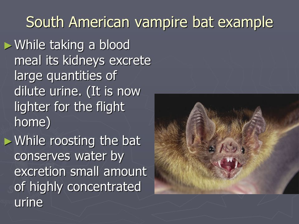 South American vampire bat example ► While taking a blood meal its kidneys excrete large quantities of dilute urine.
