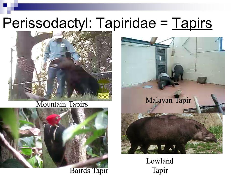 Perissodactyl: Tapiridae = Tapirs Mountain Tapirs Malayan Tapir Lowland Tapir Bairds Tapir