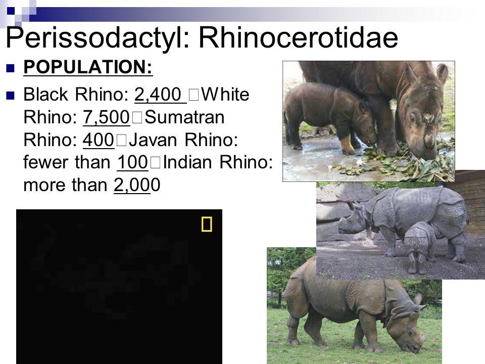 Perissodactyl: Rhinocerotidae POPULATION: Black Rhino: 2,400 White Rhino: 7,500 Sumatran Rhino: 400 Javan Rhino: fewer than 100 Indian Rhino: more tha