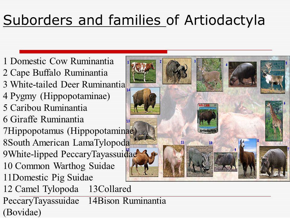 Suborders and families of Artiodactyla 1 Domestic Cow Ruminantia 2 Cape Buffalo Ruminantia 3 White-tailed Deer Ruminantia 4 Pygmy (Hippopotaminae) 5 C