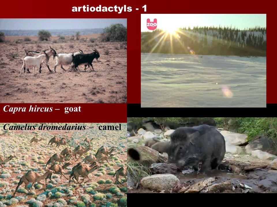 artiodactyls - 1 Capra hircus – goat Camelus dromedarius – camel Cervus timorensis - rusa Sus scrofa – pig