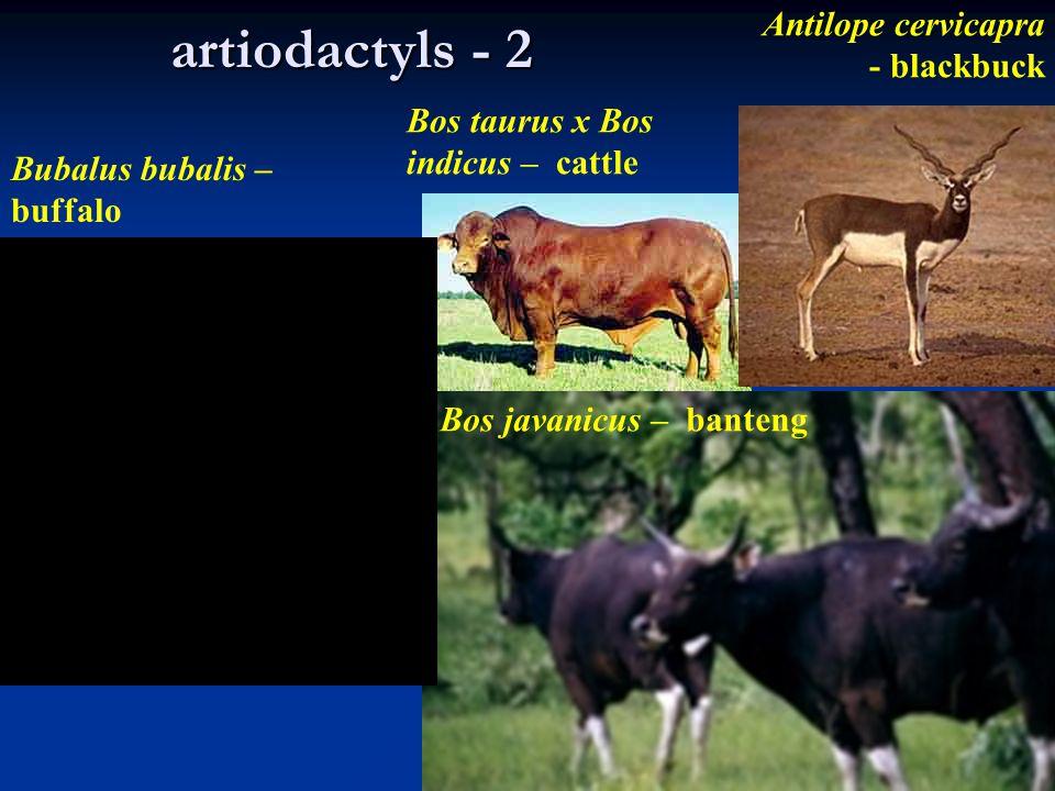 artiodactyls - 2 Antilope cervicapra - blackbuck Bubalus bubalis – buffalo Bos taurus x Bos indicus – cattle Bos javanicus – banteng