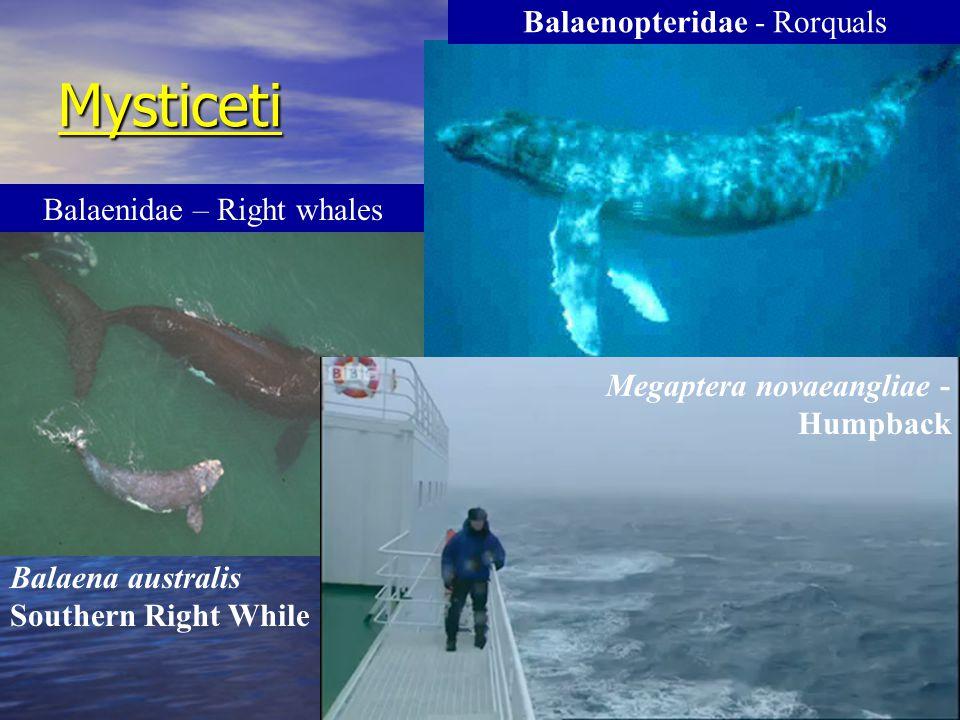 Mysticeti Balaena australis Southern Right While Balaenopteridae - Rorquals Balaenoptera physalus – Fin whale Balaenidae – Right whales Megaptera nova