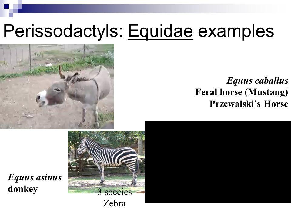Perissodactyls: Equidae examples Equus asinus donkey Equus caballus Feral horse (Mustang) Przewalski's Horse 3 species Zebra