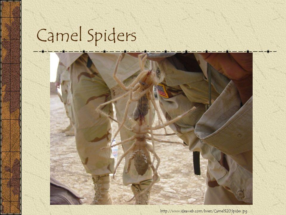 Camel Spiders http://www.ideaweb.com/brien/Camel%20Spider.jpg