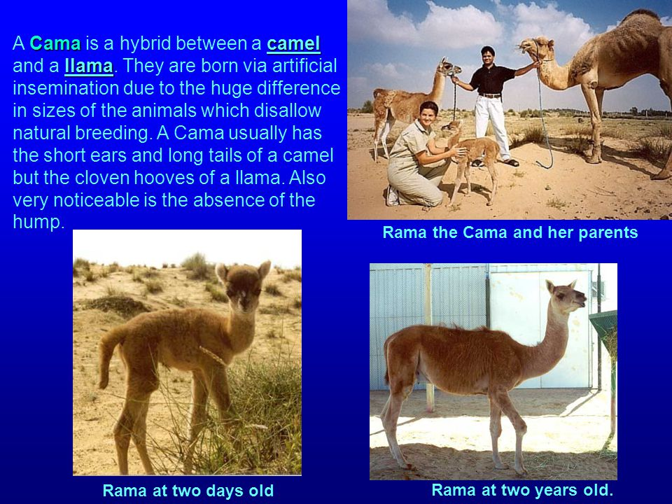 Camacamel llama A Cama is a hybrid between a camel and a llama. They are born via artificial insemination due to the huge difference in sizes of the a