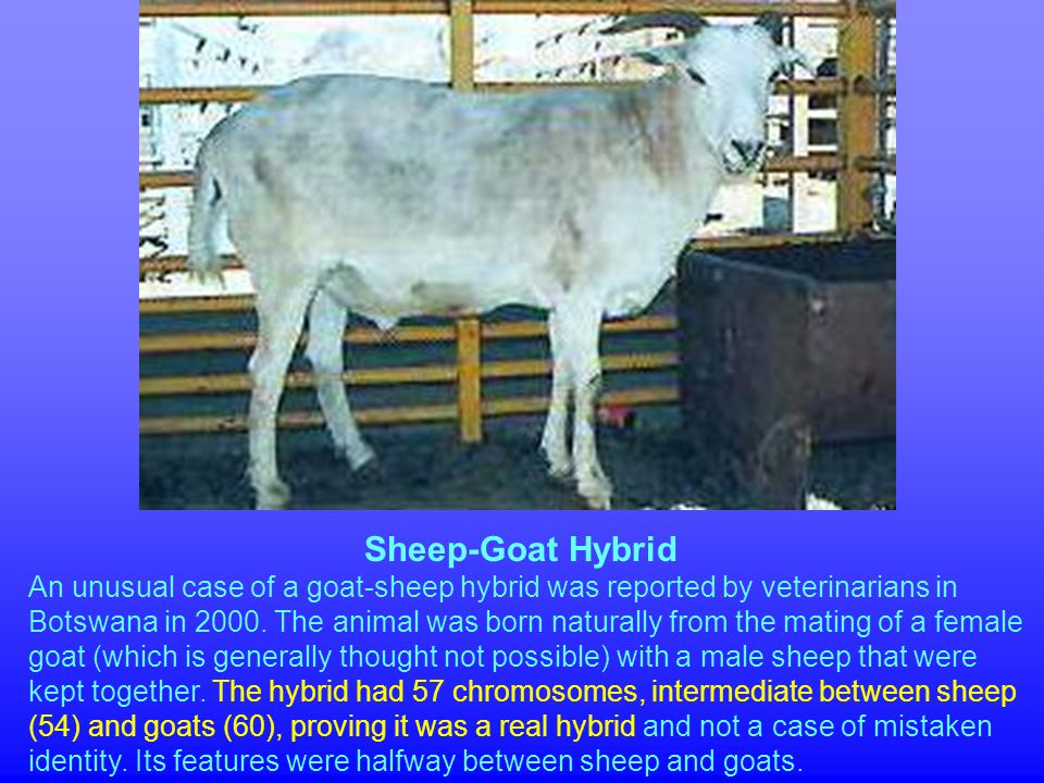 Sheep-Goat Hybrid An unusual case of a goat-sheep hybrid was reported by veterinarians in Botswana in 2000.