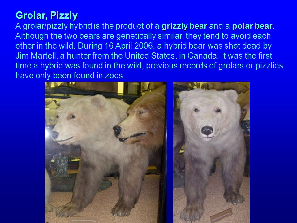Grolar, Pizzly grizzly bearpolar bear. Grolar, Pizzly A grolar/pizzly hybrid is the product of a grizzly bear and a polar bear. Although the two bears