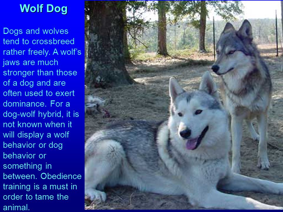 Wolf Dog Dogs and wolves tend to crossbreed rather freely.
