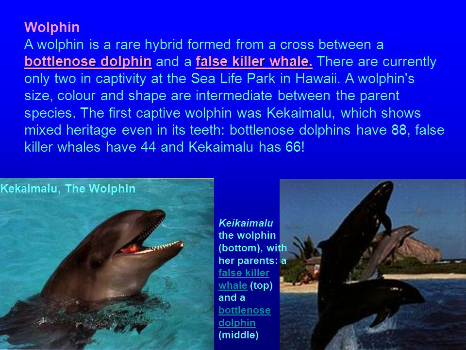 bottlenose dolphinfalse killer whale. Wolphin A wolphin is a rare hybrid formed from a cross between a bottlenose dolphin and a false killer whale. Th