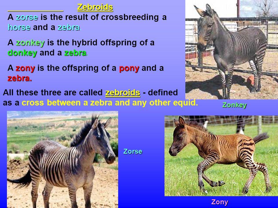 Zebroids zorse horse zebra Zebroids A zorse is the result of crossbreeding a horse and a zebra.