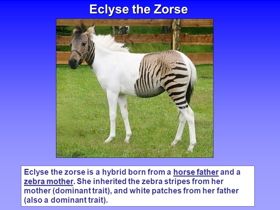 Eclyse the Zorse horse father zebra mother Eclyse the zorse is a hybrid born from a horse father and a zebra mother.