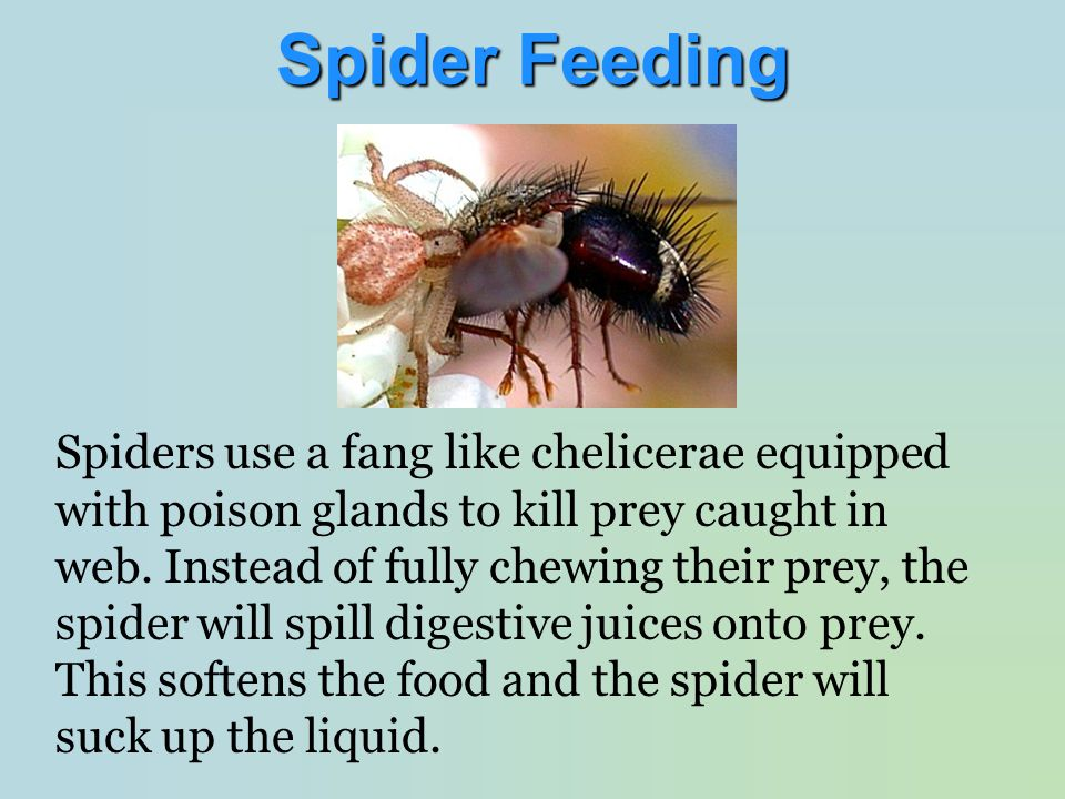 Spiders use a fang like chelicerae equipped with poison glands to kill prey caught in web. Instead of fully chewing their prey, the spider will spill