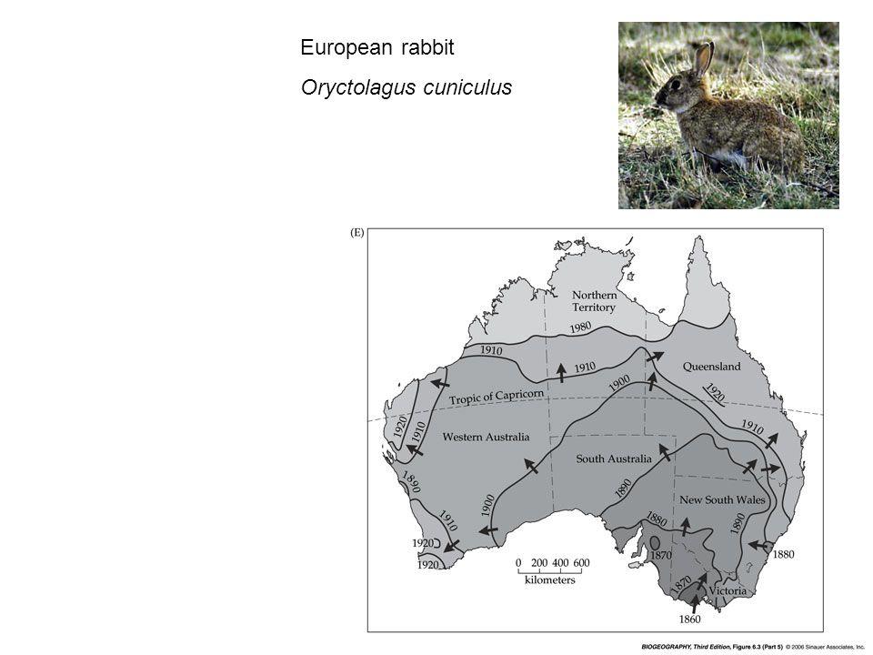 European rabbit Oryctolagus cuniculus