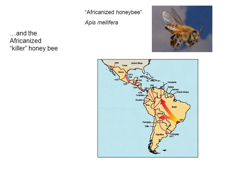 …and the Africanized killer honey bee Africanized honeybee Apis mellifera