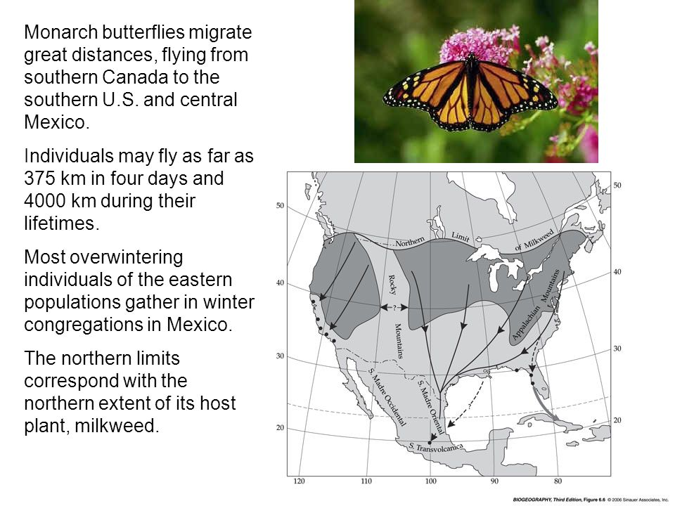 Monarch butterflies migrate great distances, flying from southern Canada to the southern U.S. and central Mexico. Individuals may fly as far as 375 km