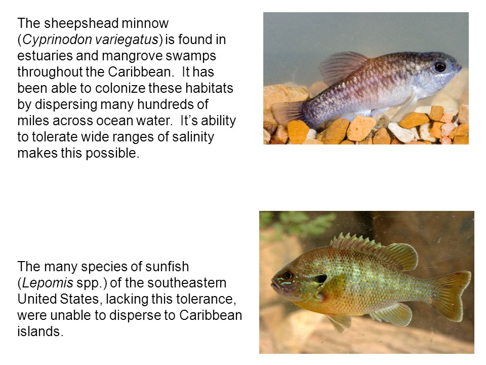 The sheepshead minnow (Cyprinodon variegatus) is found in estuaries and mangrove swamps throughout the Caribbean.