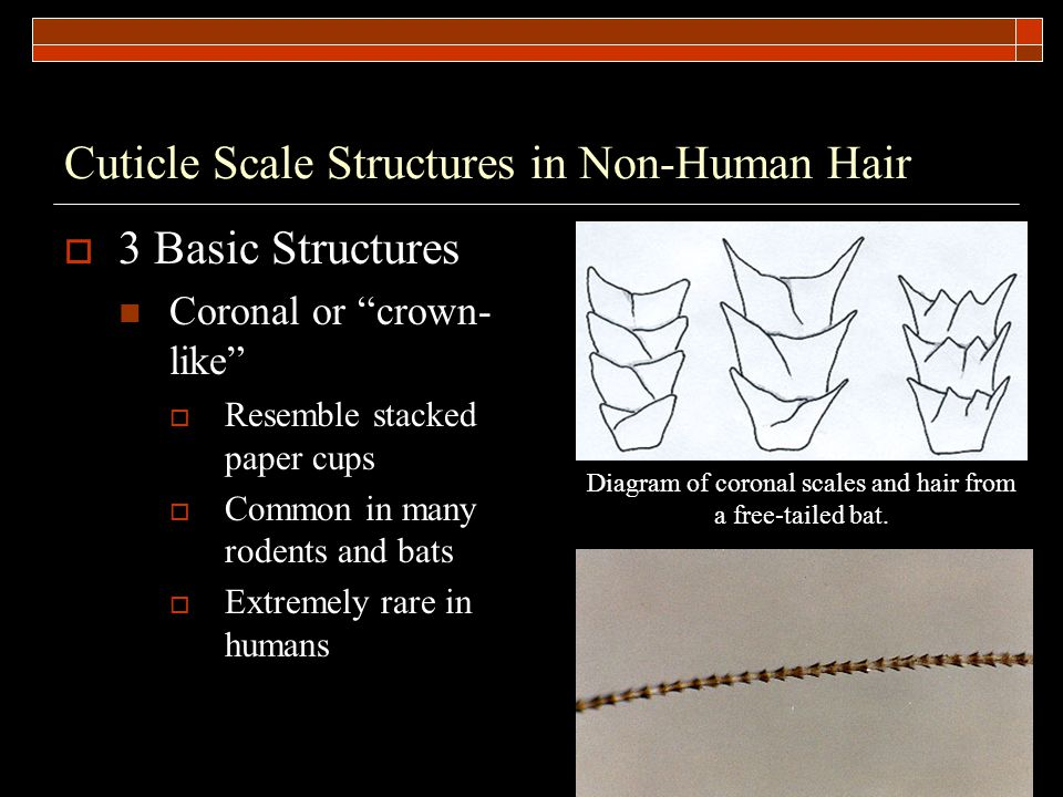 Cuticle Scale Structures in Non-Human Hair  3 Basic Structures Coronal or crown- like  Resemble stacked paper cups  Common in many rodents and bats  Extremely rare in humans Diagram of coronal scales and hair from a free-tailed bat.