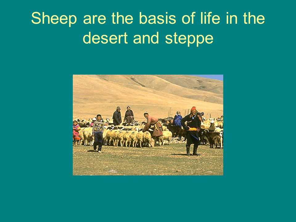 Sheep are the basis of life in the desert and steppe