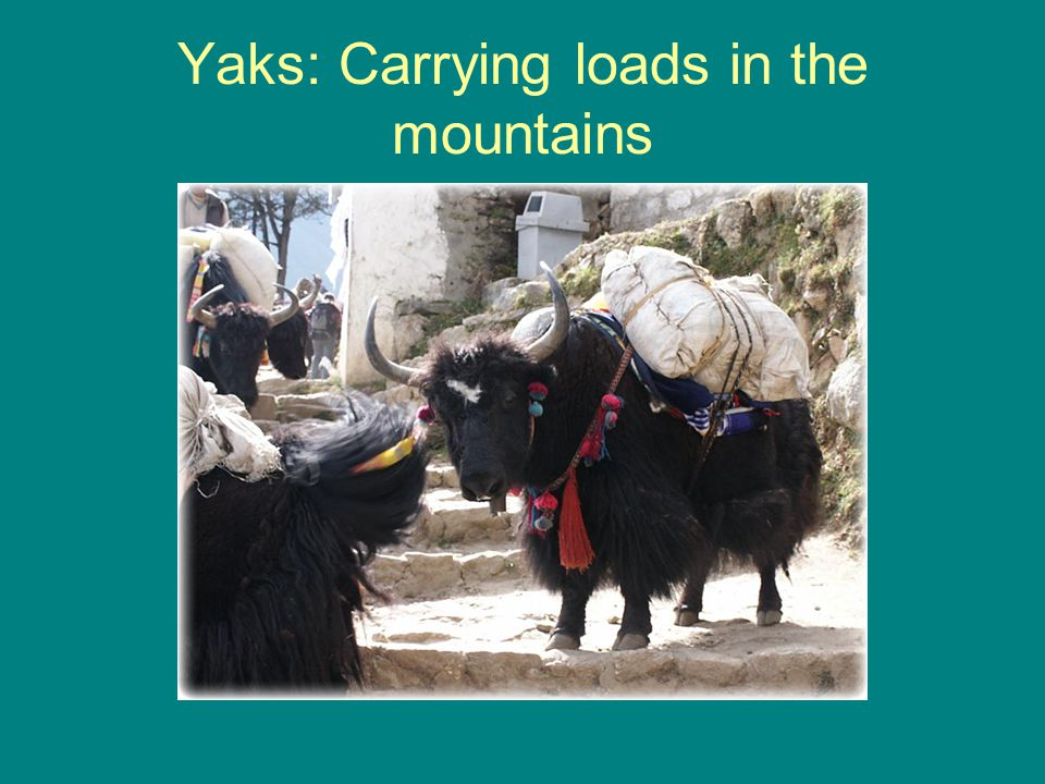 Yaks: Carrying loads in the mountains