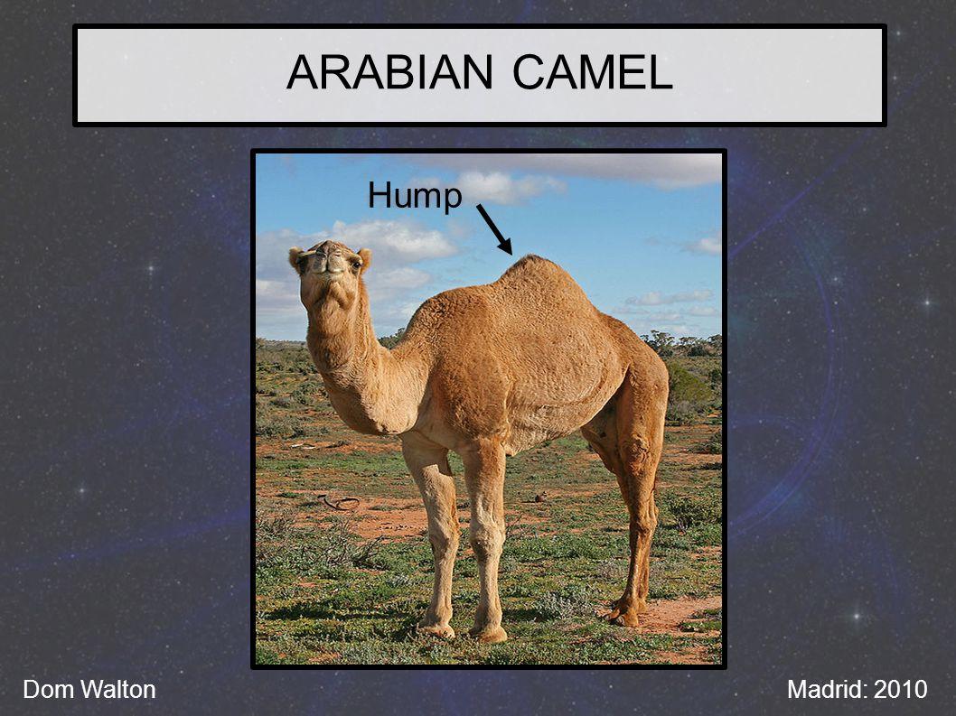 ARABIAN CAMEL Hump Dom WaltonMadrid: 2010