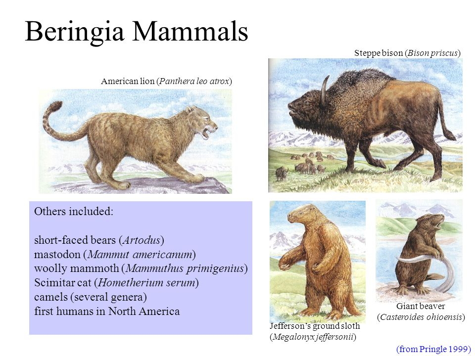 Beringia Mammals (from Pringle 1999) American lion (Panthera leo atrox) Jefferson's ground sloth (Megalonyx jeffersonii) Steppe bison (Bison priscus) Giant beaver (Casteroides ohioensis) Others included: short-faced bears (Artodus) mastodon (Mammut americanum) woolly mammoth (Mammuthus primigenius) Scimitar cat (Hometherium serum) camels (several genera) first humans in North America