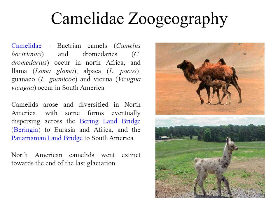 Camelidae Zoogeography Camelidae - Bactrian camels (Camelus bactrianus) and dromedaries (C. dromedarius) occur in north Africa, and llama (Lama glama)