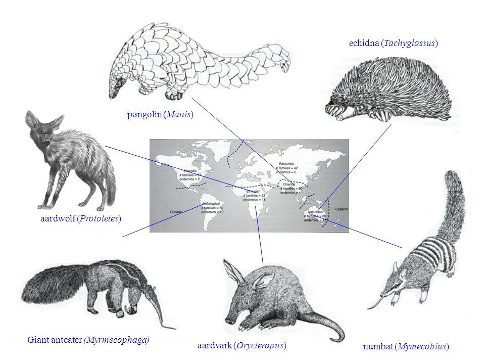 aardvark (Orycteropus) echidna (Tachyglossus) numbat (Mymecobius) pangolin (Manis) Giant anteater (Myrmecophaga) aardwolf (Protoletes)